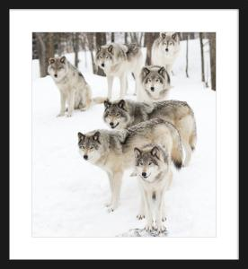 WOLF PACK PRINT